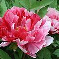 唯有牡丹真国色,花开时节动京城。
